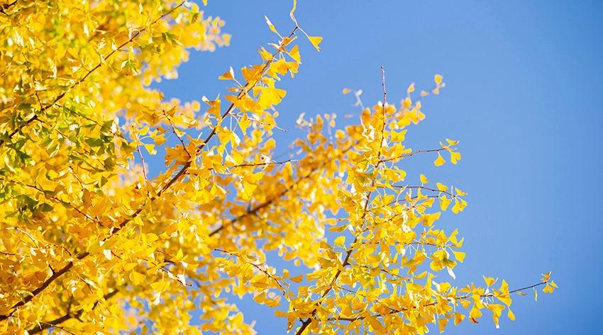 フェリカスピコの七五三撮影会佐藤朗写真イメージ イチョウと空の写真